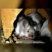 Мышь лабораторная