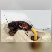 Мадагакасрский таракан. Самка с оотекой