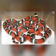 Королевские змеи