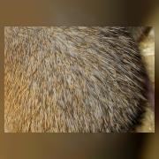 Мышь иглистая каирская (иголки)