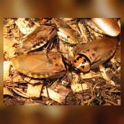 Шеститочечный таракан
