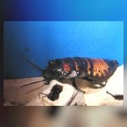 Мадагаскарский таракан. Рогатый самец