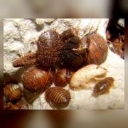 Шахматный таракан (Therea petiveriana). Личинки.