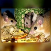 Мышь иглистая каирская