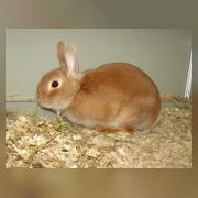 Кролик домашний карликовый