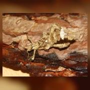 Палочник Phaenopharos sp. самец