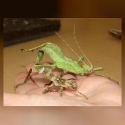 Палочник Phaenopharos sp. зеленая самка и коричневый самец