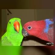 Благородный попугай (зеленый самец, красная - самка)