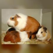 Морсая свинка с детенышами