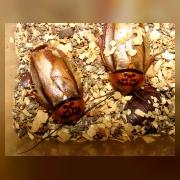 Оранжевоголовый таракан (Eublaberus posticus)