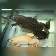 Гладкие шпорцевые лягушки