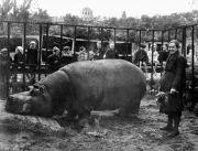Е.И.Дашина, сохранившая в блокаду жизнь бегемота Красавицы. 1944 г.