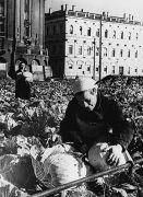 Сбор урожая капусты сквере у Исаакиевского собора. Рассада была выращена учеными Всесоюзного института растениеводства и Ботанического сада Ленинграда.